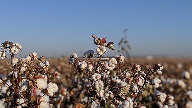 cotton-fields-larger